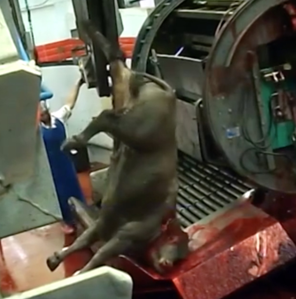 Israel's largest slaughterhouse, which had the stamp of approval by Australian authorities, was shut down after Animals Australia released footage of cattle being tortured during the slaughter process.
