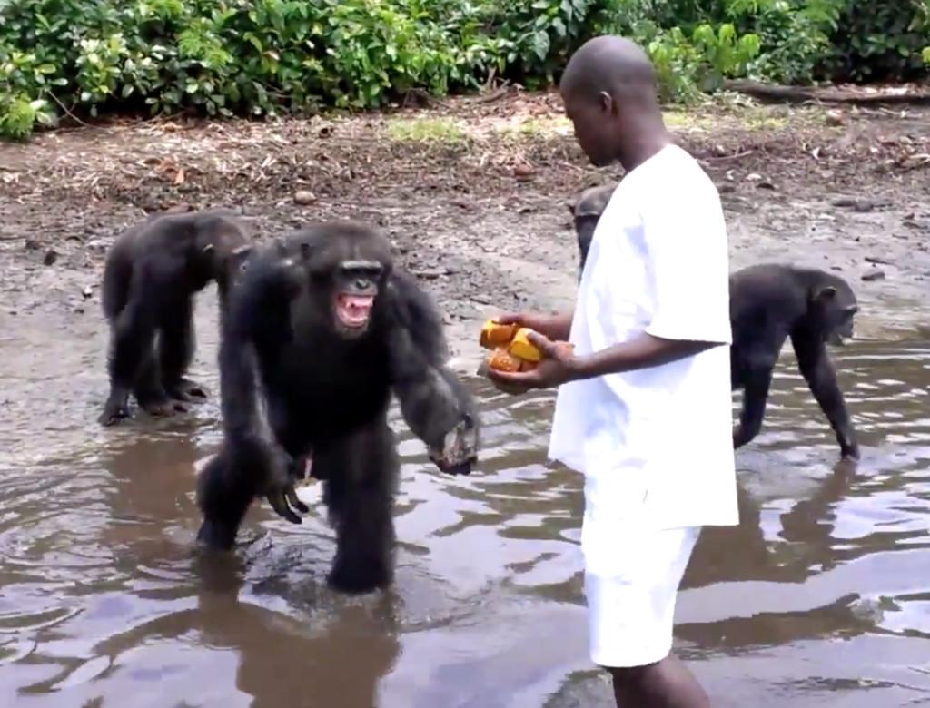 Caretaker feeds New York Blood Center's former lab chimps