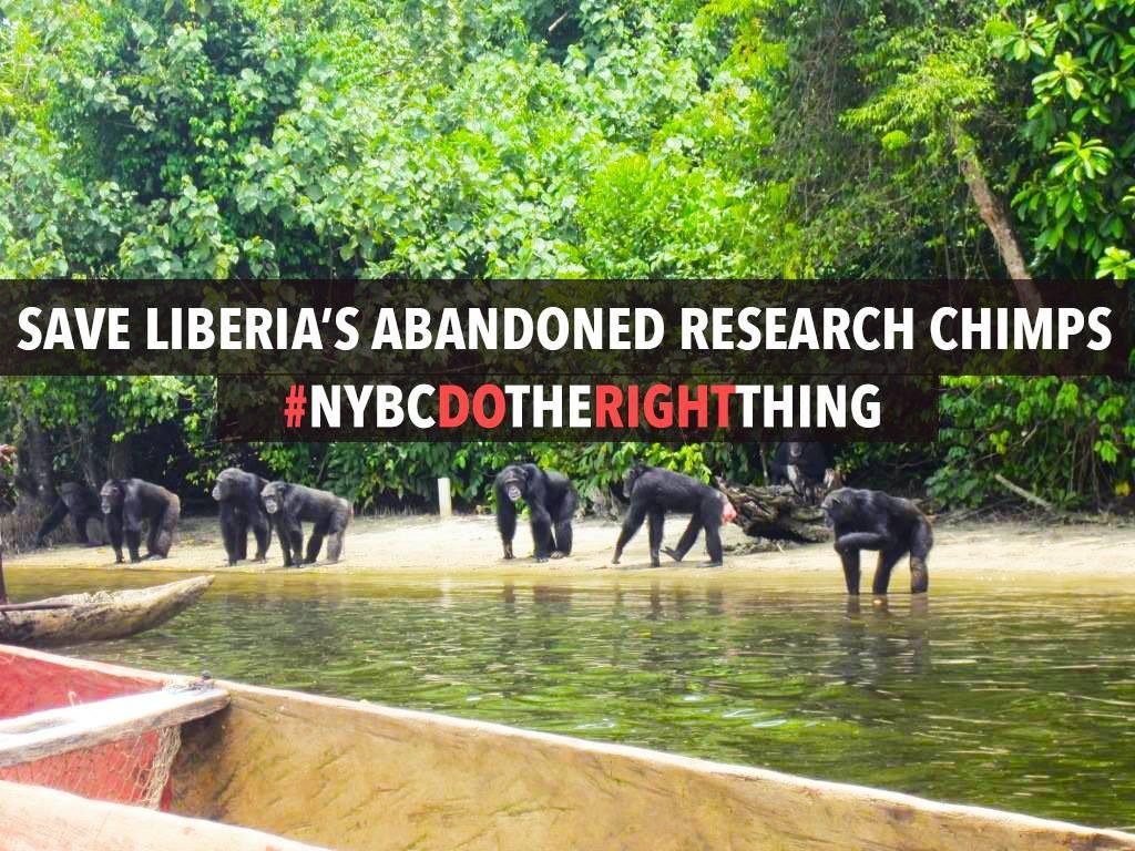 save-the-NYBC-chimps