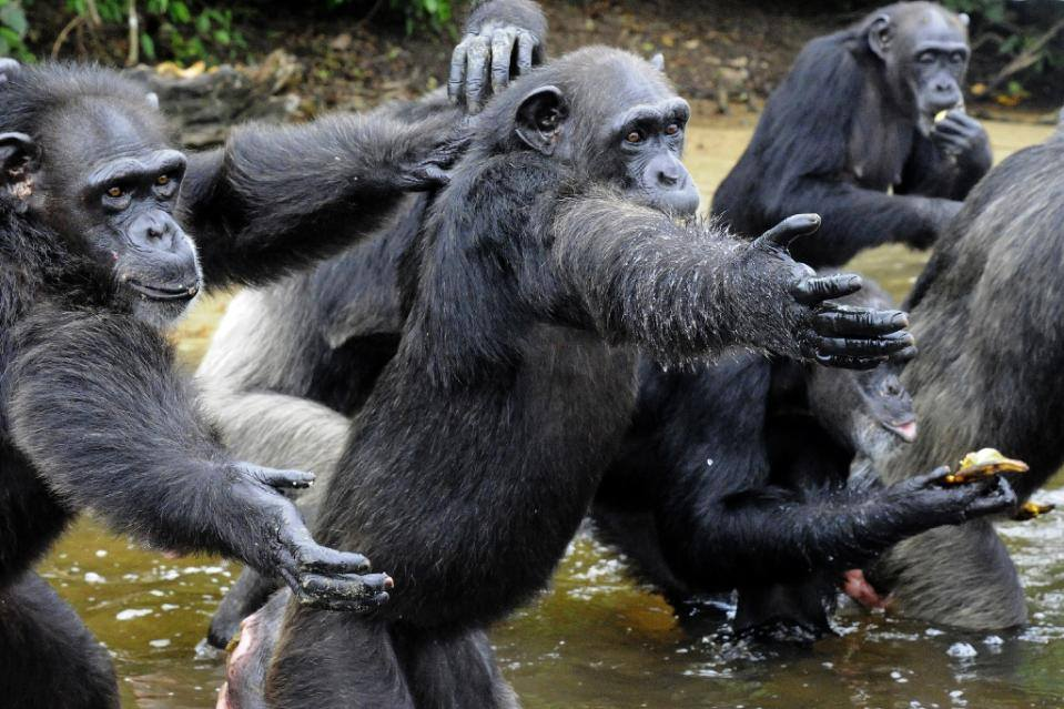 With no natural food on the islands where they were relocated, the chimps eagerly await the delivery of food