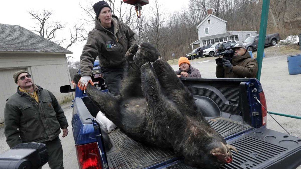 A Fish & Wildlife employee weighs a bear during a previous hunt (photo: AP)