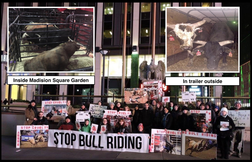 Animal rights activists stage three days of protests at the bull riding rodeo at Madison Square Garden