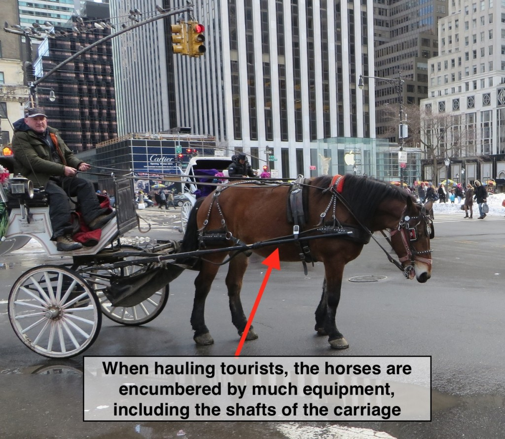 Horses are confined between the shafts of the carriage for over nine hours/day