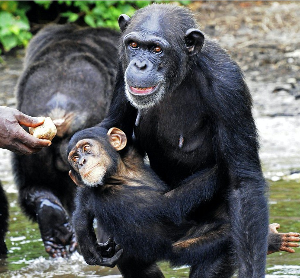 Chimps abandoned by New York Blood Center Board Members, including Laurie Glimcher, Dean of Cornell Medical College