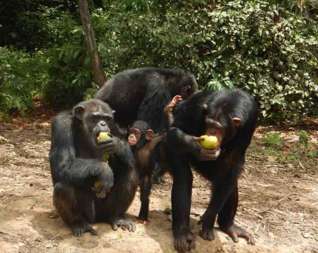 Chimps abandoned by the New York Blood Center are fed once daily with money donated by the public