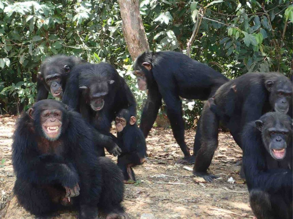 The New York Blood Center abandoned 66 chimps in Liberia, leaving them to die of hunger and thirst