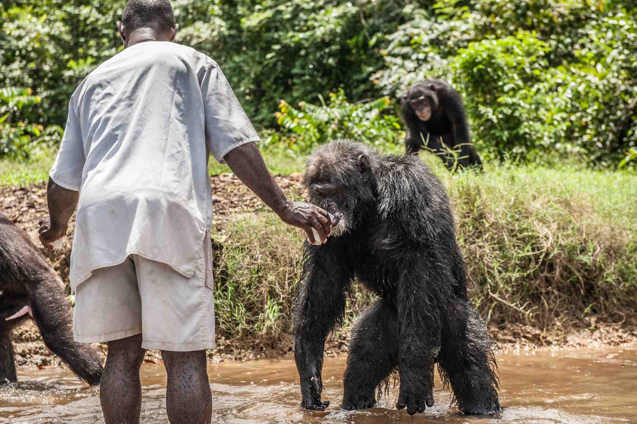 Liberians hired by HSUS feed the chimps abandoned by the New York Blood Center