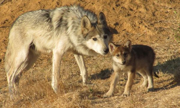The Mexican grey wolf was rescued from extinction by a captive breeding program but is now at risk of loosing nearly all its government protection.