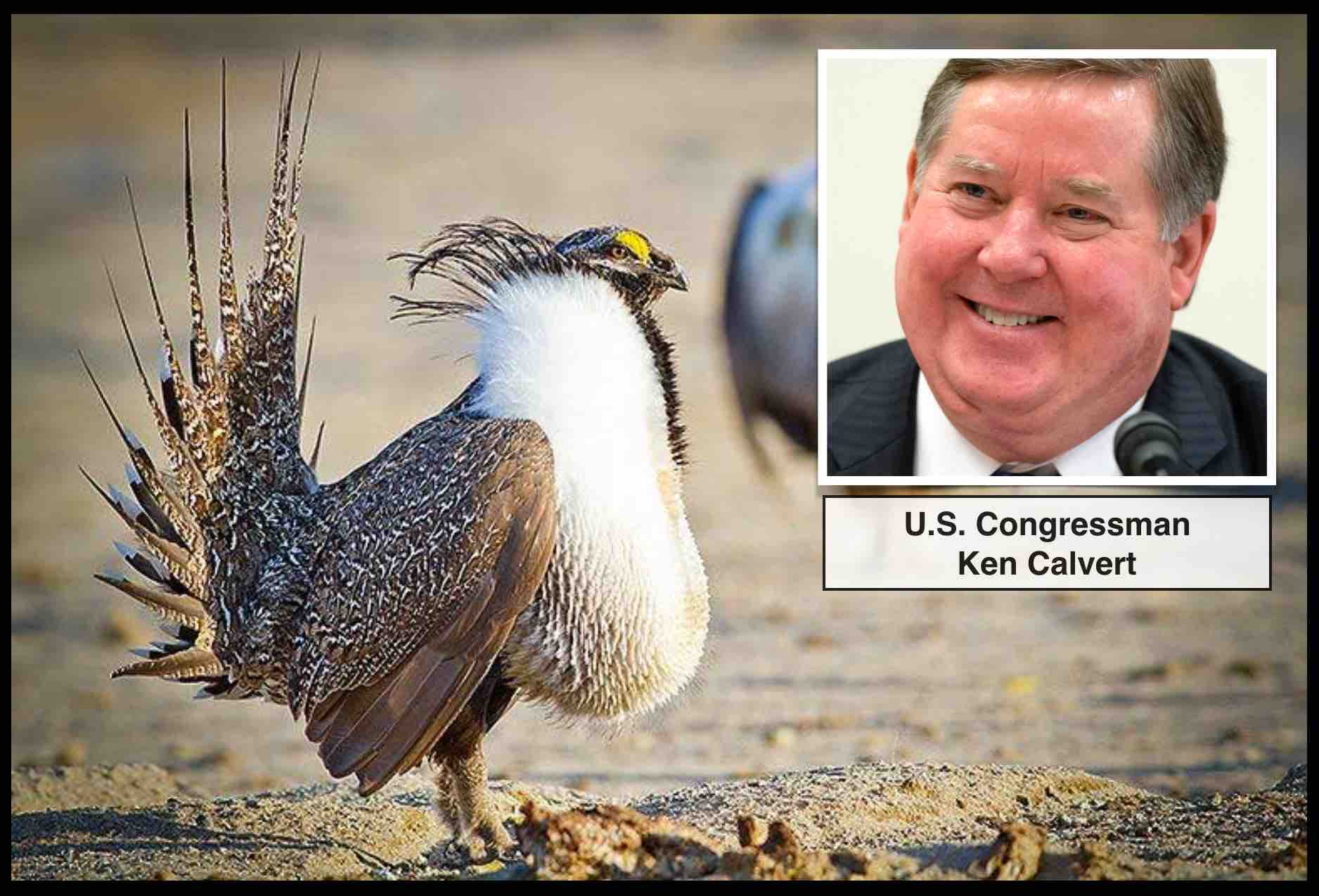 On May 24th, representative Ken Calvert introduced legislation to permanently prevent the greater sage grouse from being listed under the ESA.