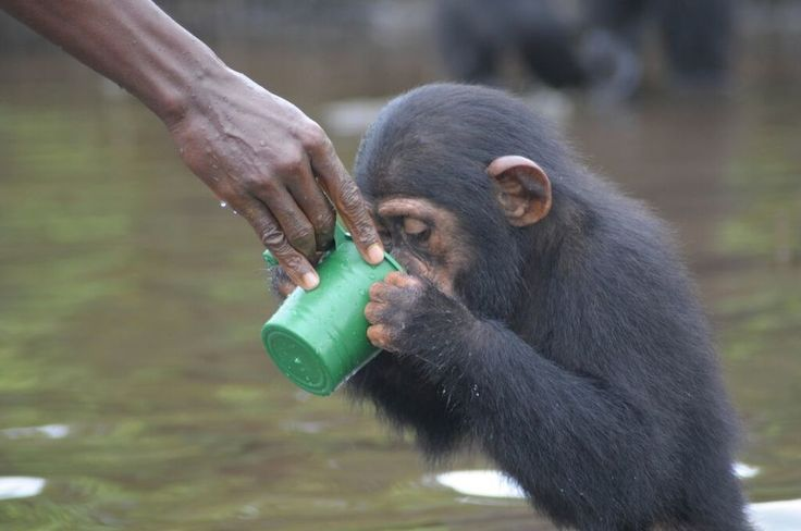 Young chimpanzee abandoned by the NY Blood Center receives water from a local volunteer.