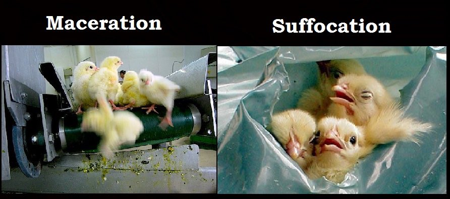 Two widely used methods of male chick culling are maceration and suffocation.