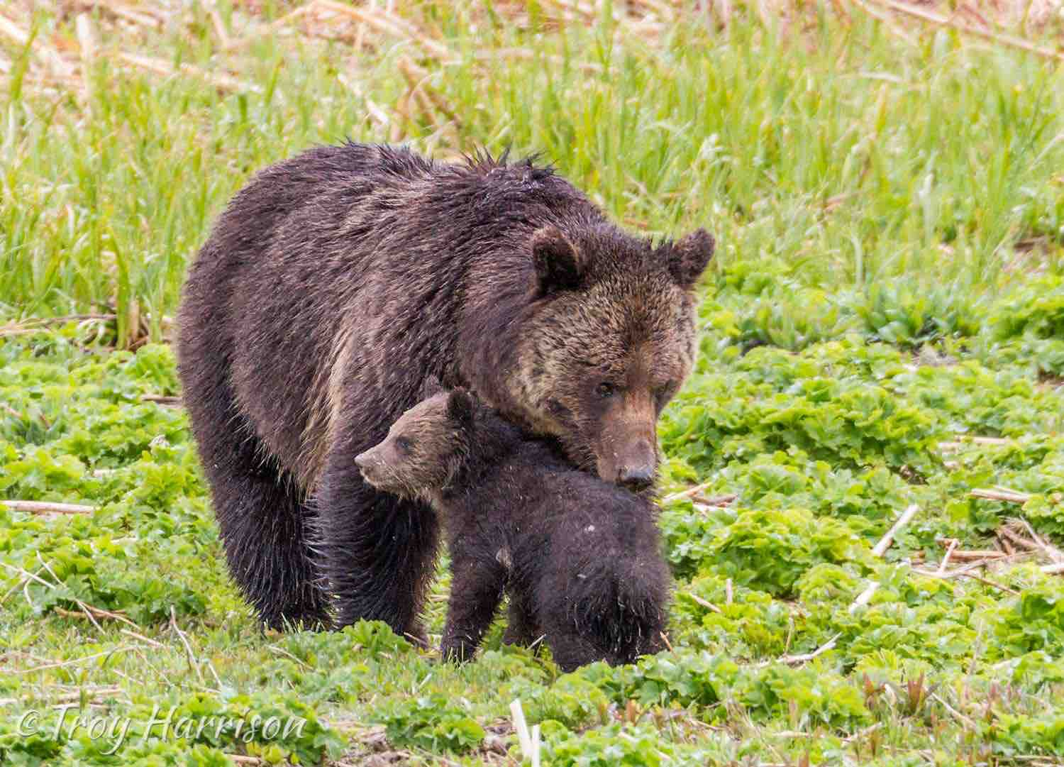 Grizzly bear nuzzling her cub in Yellowstone National Park.