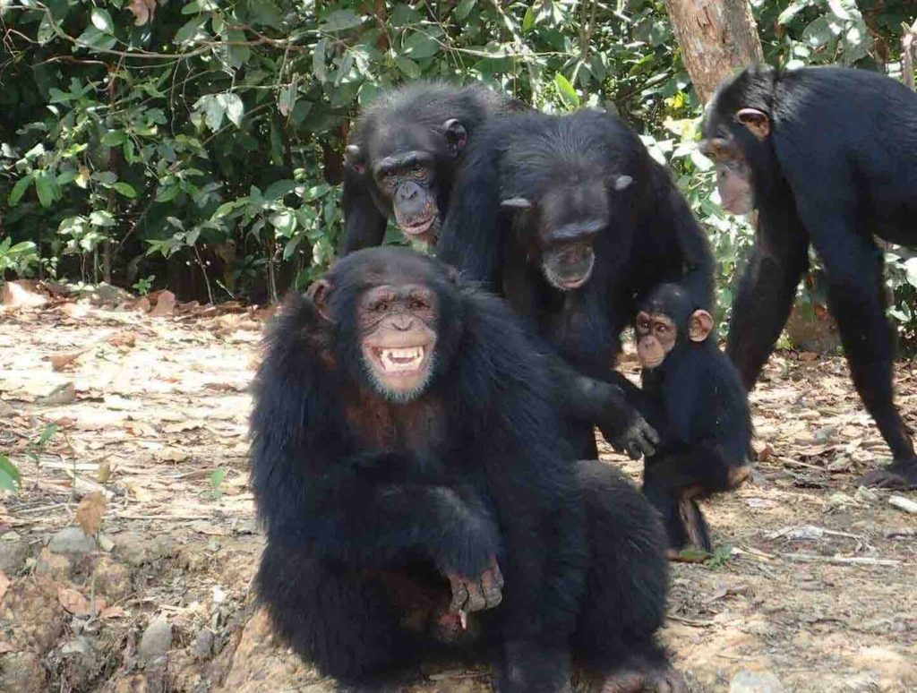 Chimps in Liberia left to die by the New York Blood Center