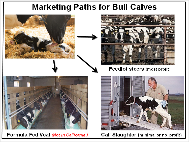 Dairy industry diagram illustrates the different ways to profit off of male calves, who cannot produce milk.
