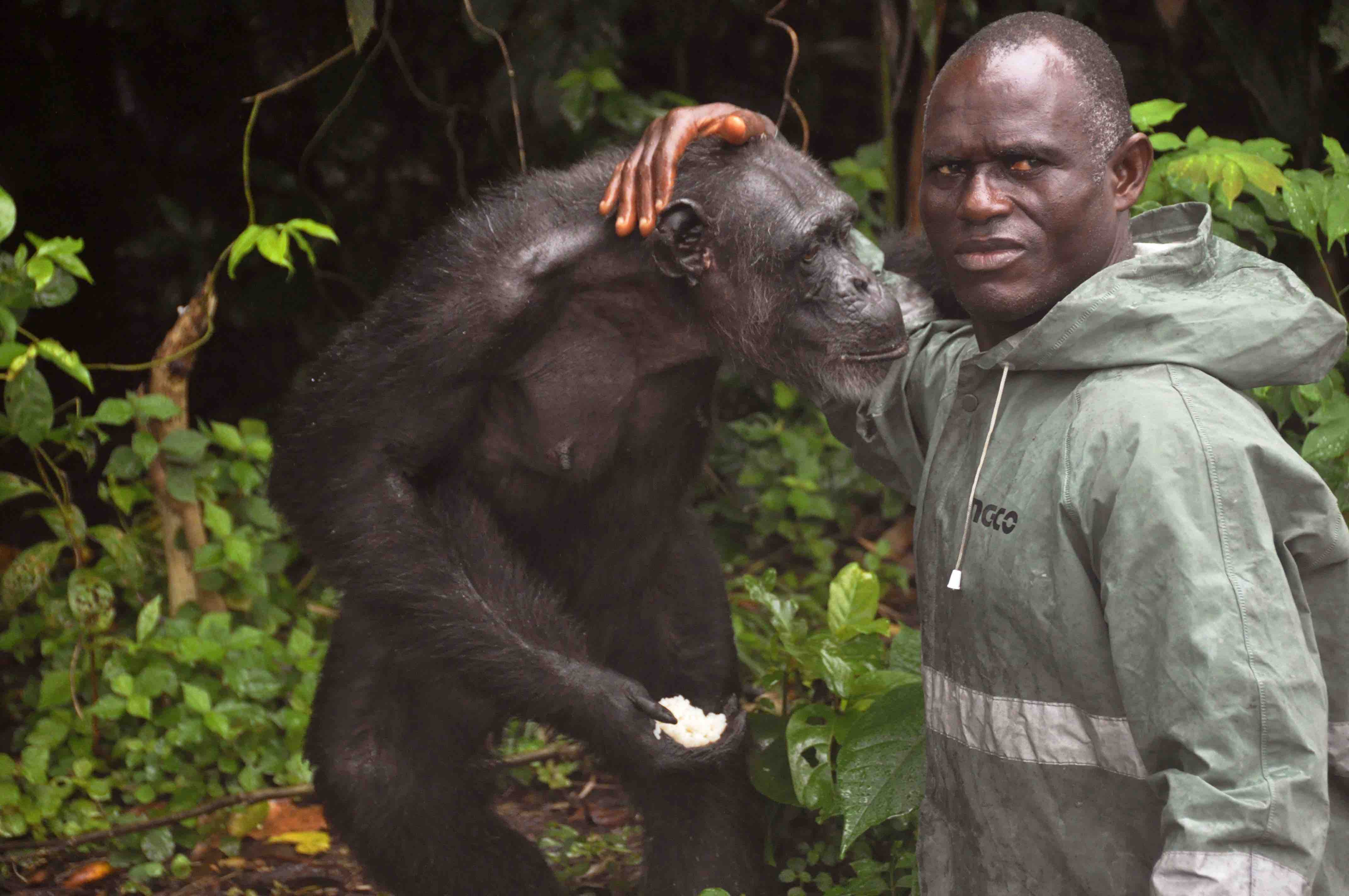 A chimpanzee abandoned by the NY Blood Center with a Liberian caretaker.(AP Photo/ Abbas Dulleh)