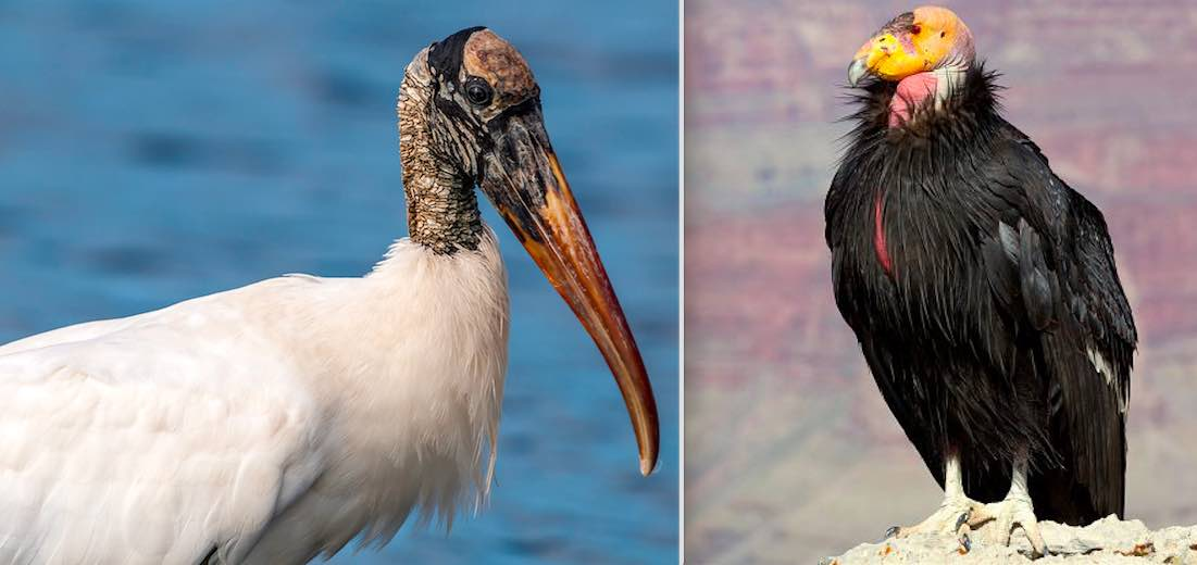 Both the California condor and the woodstork have benefited tremendously from the Endangered Species Act.