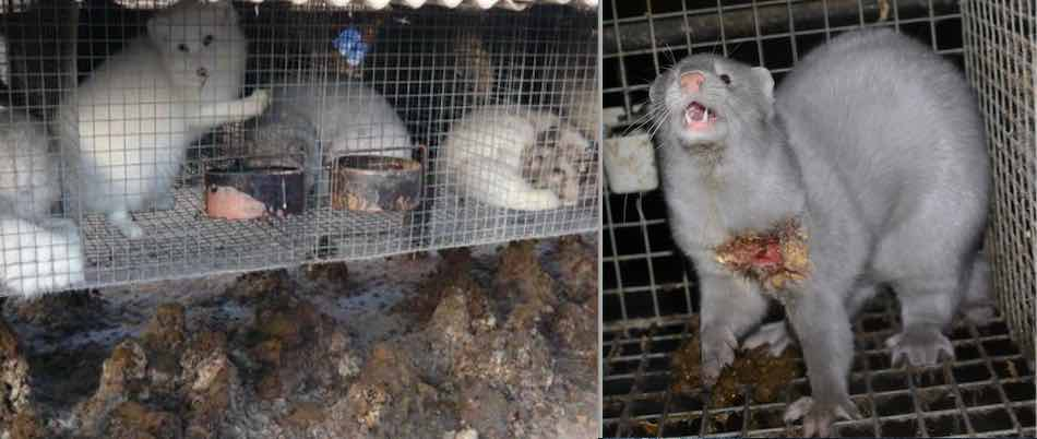 fur farmed animals spend their lives in filthy overcrowded cages and rarely receive veterinary care.