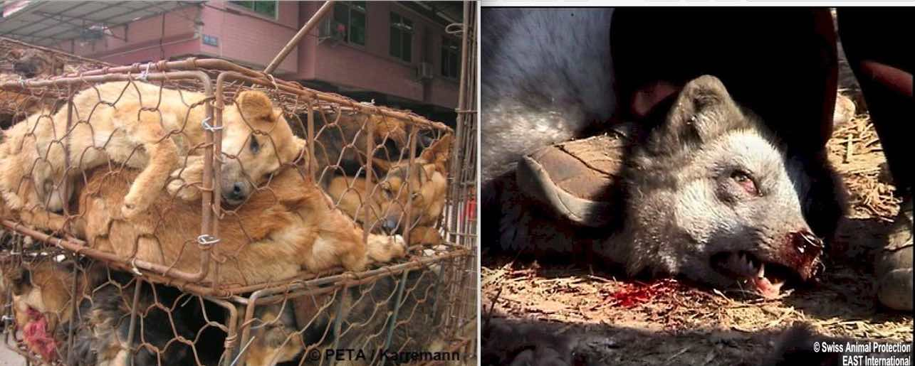 investigations on Chinese fur farms have revealed horrific cruelty and that dogs and cats are killed for their fur.