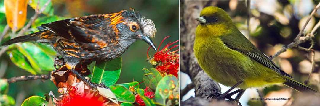 The crested honeycreeper (left) and the akekee (right), both from Hawaii, would lose their protection under the Endangered Species Management Self Determination Act.