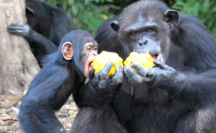 A mother chimpanzee abandoned by the NY Blood Center shares food with her baby.