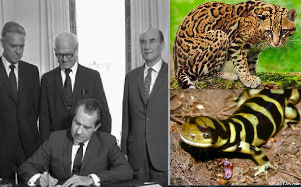 The Endangered Species Act, which was signed by President Nixon in 1973, protects species threatened with extinction such as the ocelot and the California tiger salamander.