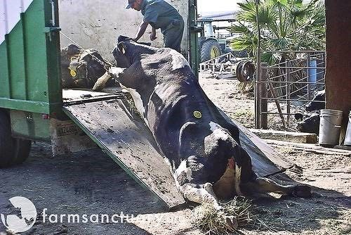 A cow too weak to walk (downer) is pulled into a truck which will carry her into the slaughter plant.
