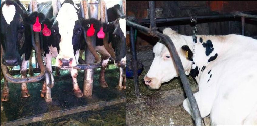 "Female cows restrained in a device reffered to as the ""rape rack."""