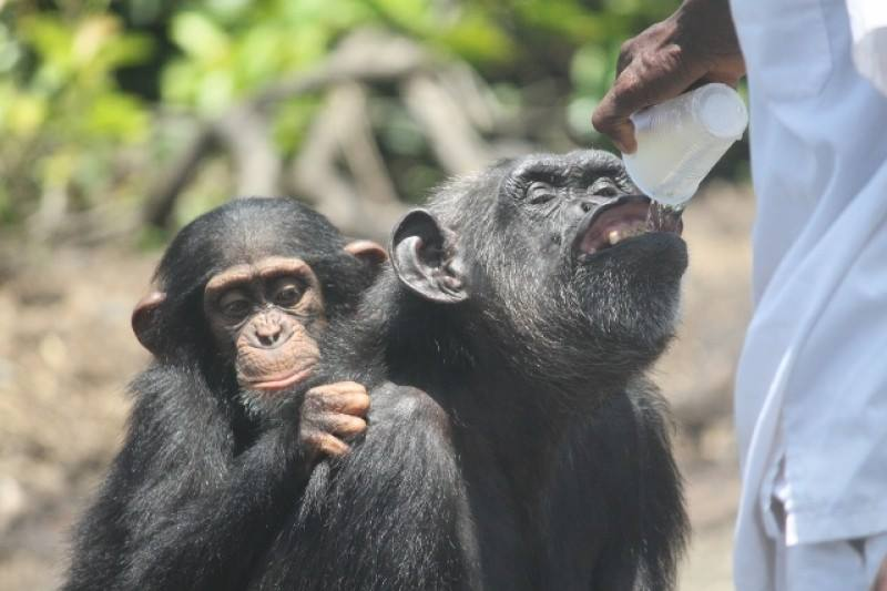 A chimpanzee abandoned by the NY Blood Center receives water from a local volunteer.