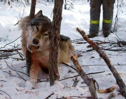 When Wyoming gained control of its grey wolf population in 2012 over 200 wolves were killed.