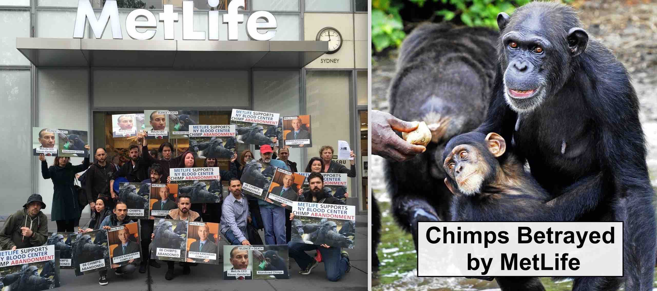 MetLife has refused to hold NYBC accountable for its abandonment of 66 chimpanzees.
