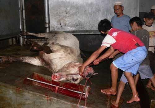 Exported Australian cow being slaughtered.