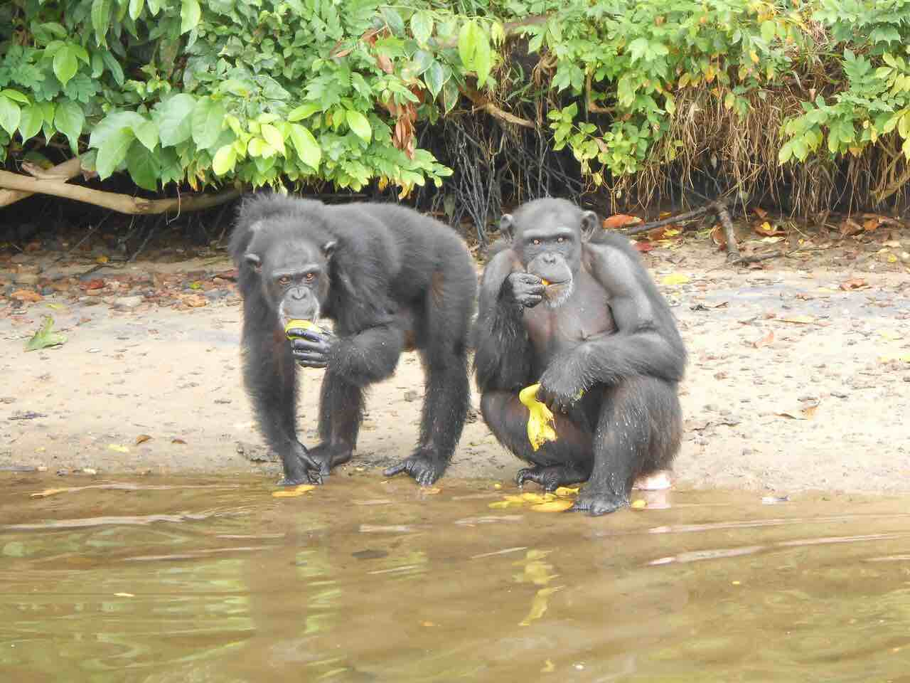 chimpanzees abandoned by the NY Blood Center