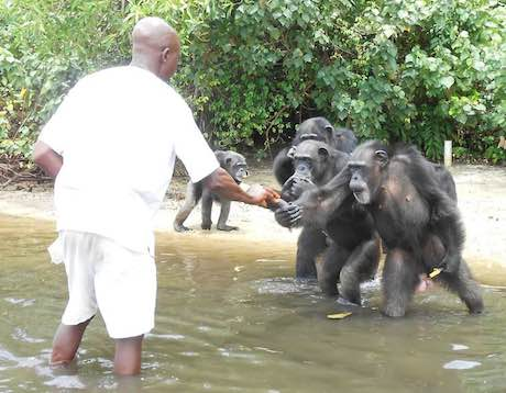 chimpanzees abandoned by the NY Blood Center receive food from a local volunteer