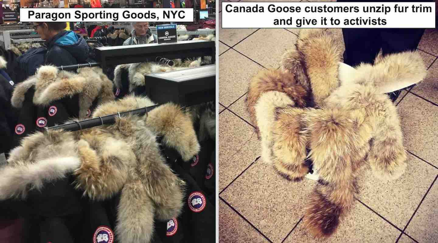 canada goose down jacket animal cruelty