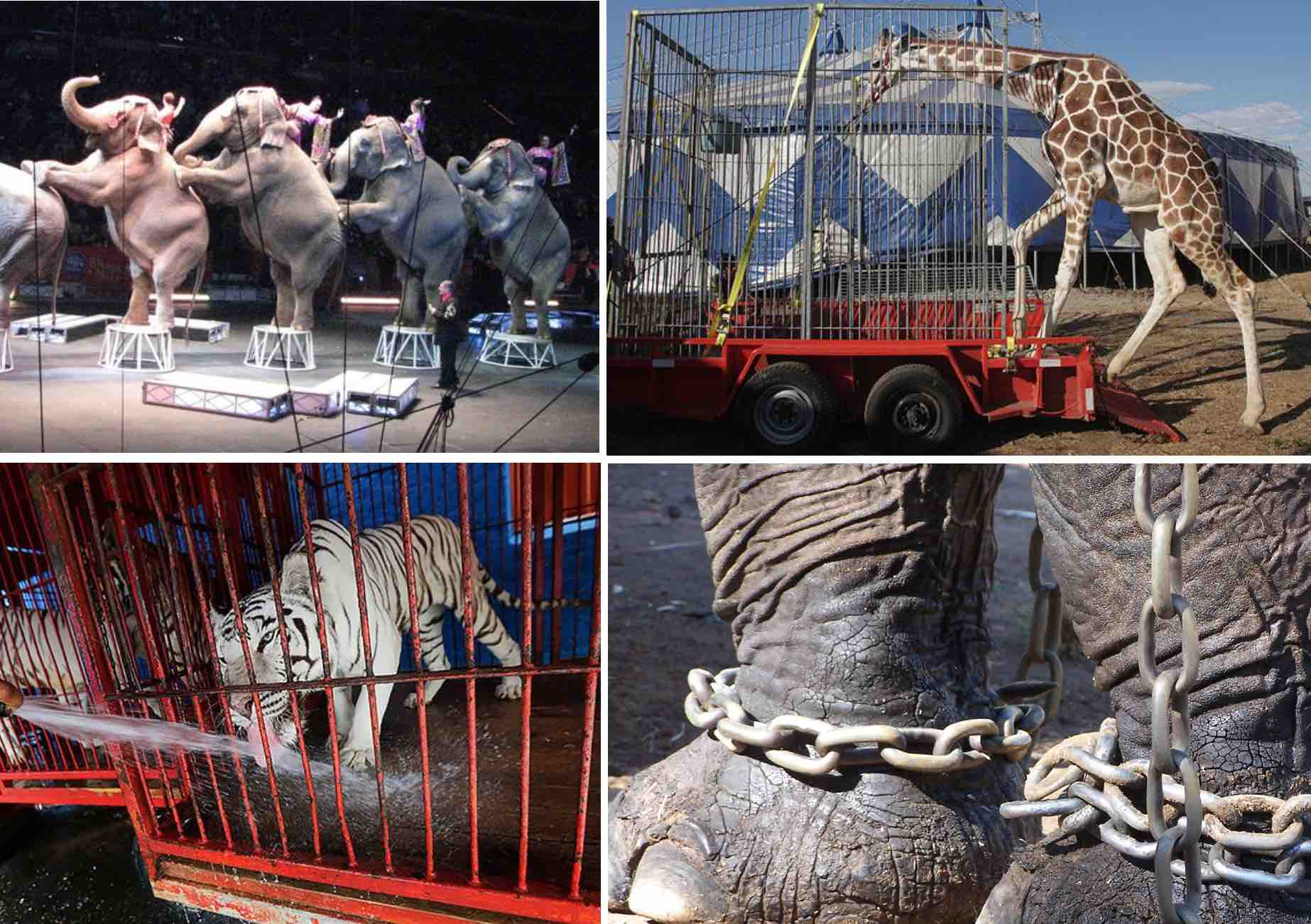 cruelty in zoos and circuses This term includes carnivals, circuses, animal acts, zoos, and educational exhibits, exhibiting such animals whether operated for profit or not [2] this suggests that the goals of zoos and circuses are identical—they both use animals commercially for public exhibits.