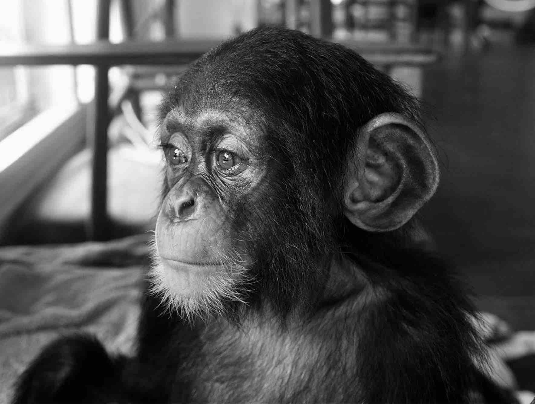Chimpanzee pictures chimpanzees are all black but - When Orphaned Chimps Arrive At Liberia Chimpanzee Rescue Protection Caregivers Work To Help Them Recover From The Trauma Of Losing Their Families