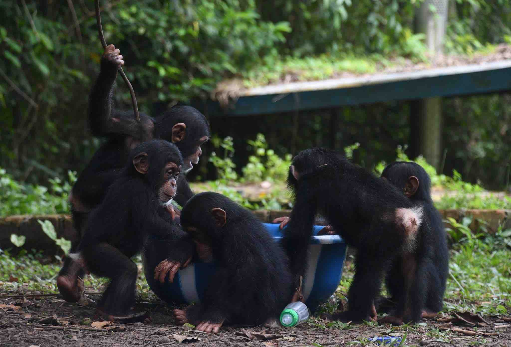 Racing Against Time to Build a Sanctuary for 19 Chimpanzees